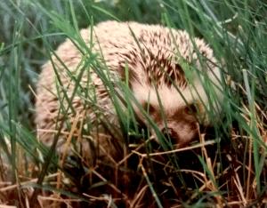rudy the hedgehog